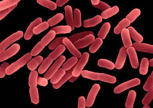 Сенная палочка (bacillus subtilis): характеристика, роль в организме человека, применение