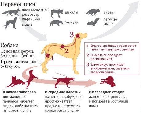 Вирус бешенства: характеристика, патогенность, симптомы, диагностика, лечение и профилактика