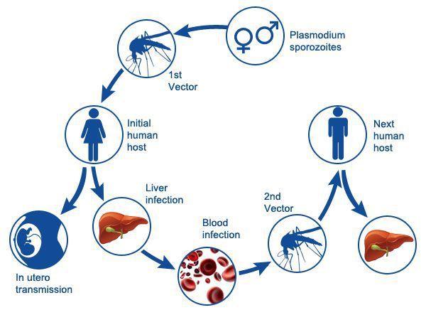Малярия: эпидемиология, симптомы, лечение, диагностика, профилактика