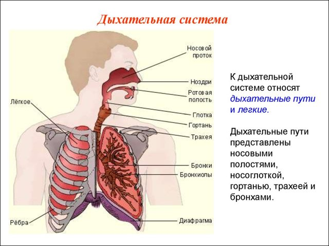 Респираторный дистресс-синдром, ОРДС: развитие, проявления, лечение