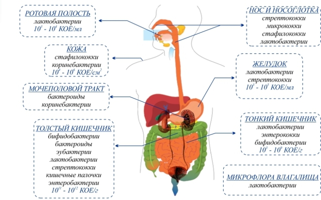 lactobacillus (лактобацилла, лактобактерия): свойства и патогенность, диагностика, лечение