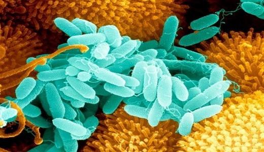 Синегнойная палочка, инфекция: возбудитель, симптомы и лечение