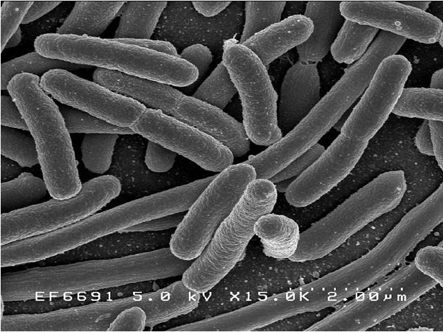 Бактероиды, bacteroides: что это, характеристика, свойства, патогенность