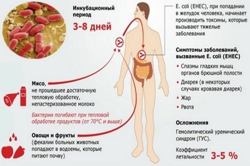 Эшерихия, эшерихиоз (escherichia coli) - возбудитель и его патогенность, лечение