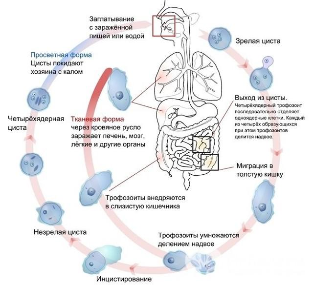 Амебиаз: возбудитель, симптомы (кишечный и внекишечный), диагностика, лечение