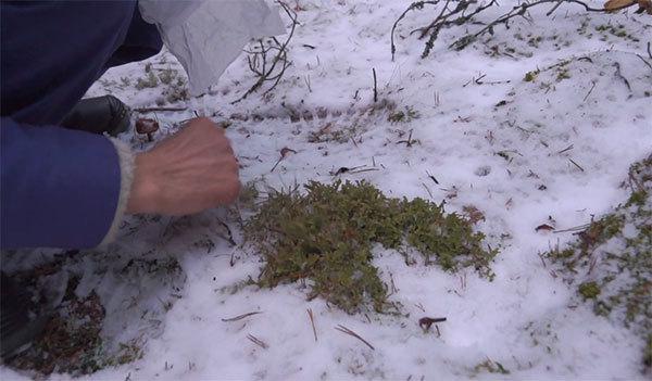 Исландский мох от кашля – препараты и рецепты народной медицины